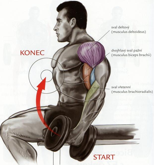 bicepsovy-zdvih-s-jednoruckami-v-sede
