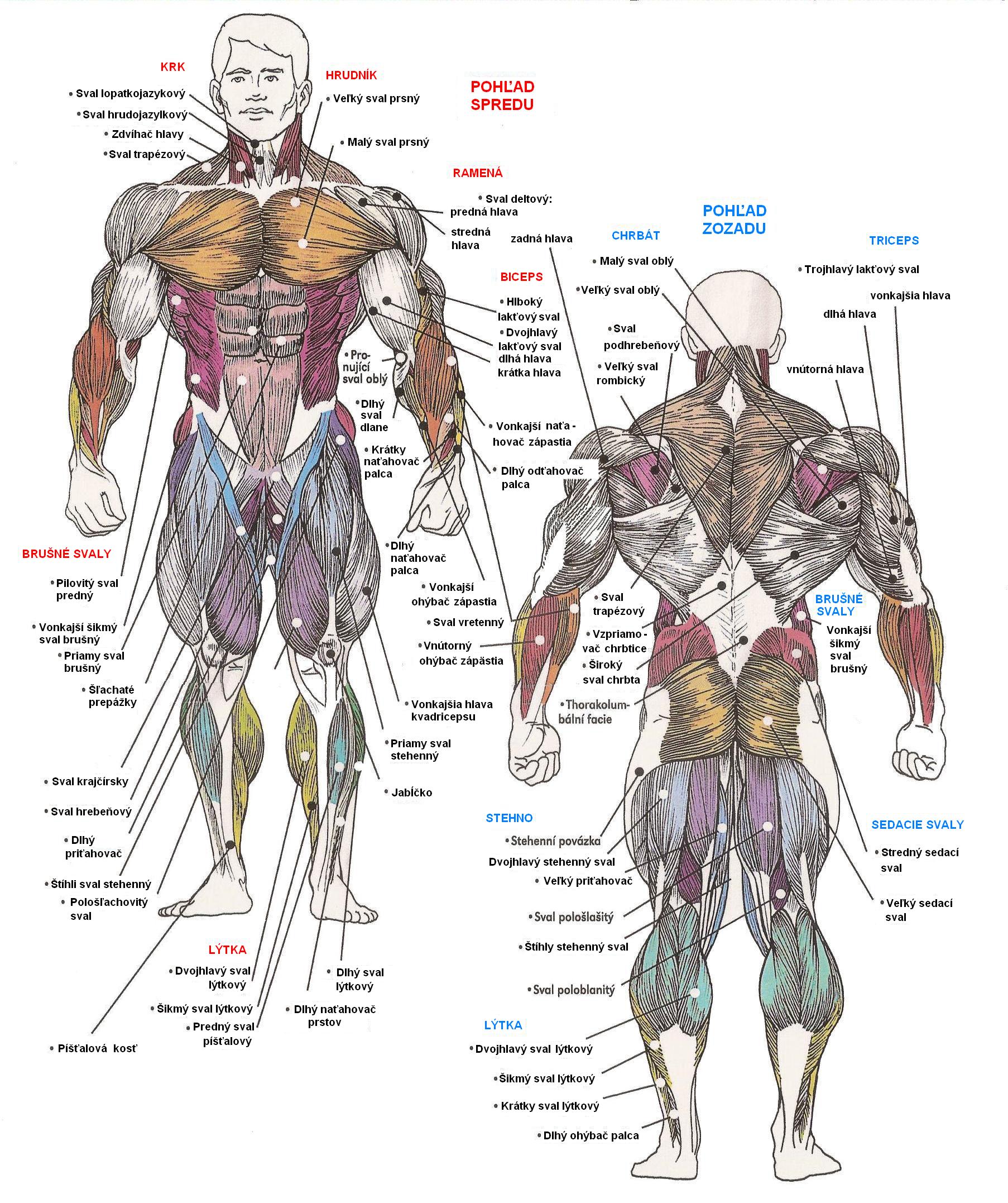 svaly-ludskeho-tela